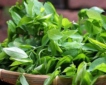 Rau ngót, thực phẩm bổ dưỡng nếu biết cách ăn – Nếu không, có thể gây sảy thai