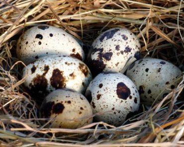Những lợi ích tuyệt vời của trứng cút: Gia đình có con nhỏ nên ăn thường xuyên